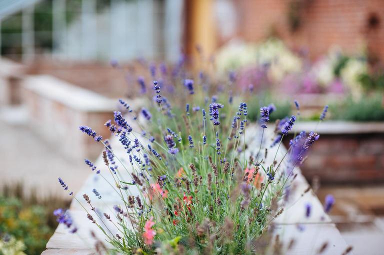 beeston walled garden lavender