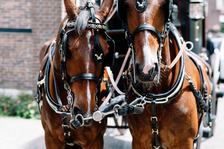horses at a wedding in holland