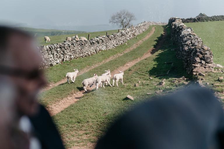 lambs running away from wedding coach