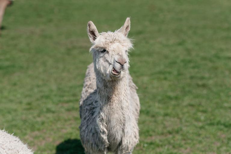 alpaca at wedding reception