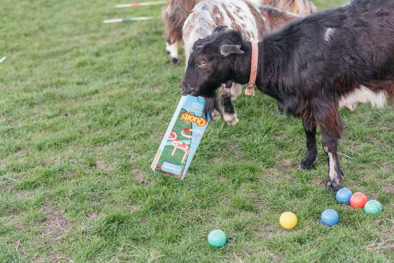 goat eating some of the lawn games