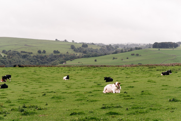 cow sitting in a field in derbyshire countryside