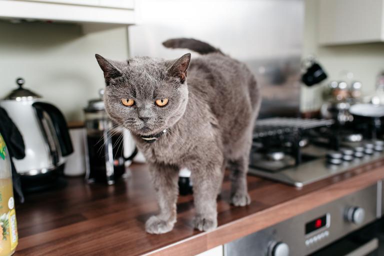 cat on kitchen worktop